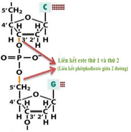 Hình 7: Liên kết phôtphođieste thực chất là liên kết giữa 2 phân tử đường